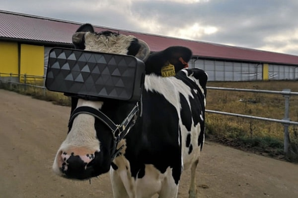 Russian Cows Fitted With Virtual-Reality Headsets