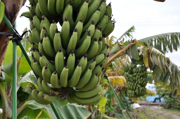 A Banana Grown At Subzero Temps Also Has An Edible Peel