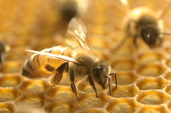 Honeybee Venom Could Hold Secret To Treating Aggressive Breast Cancer